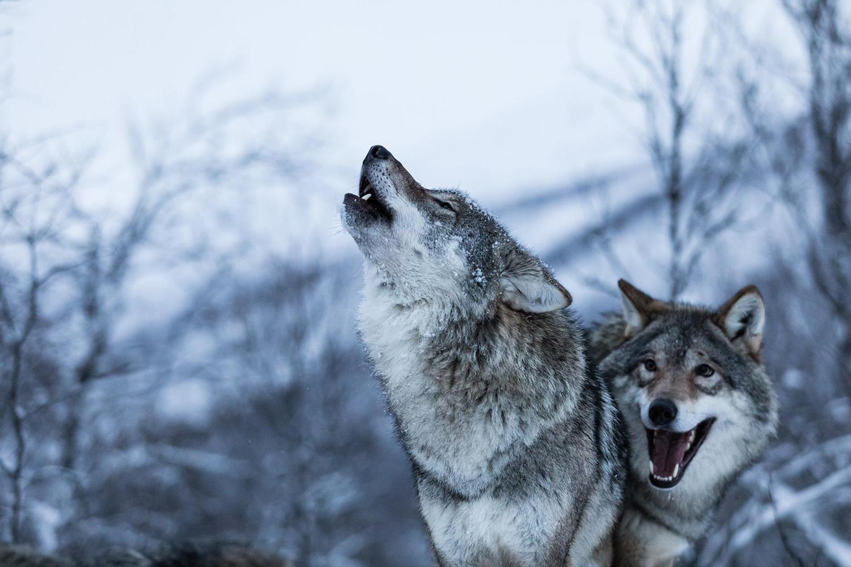 Les loups à Polar Park en Norvège
