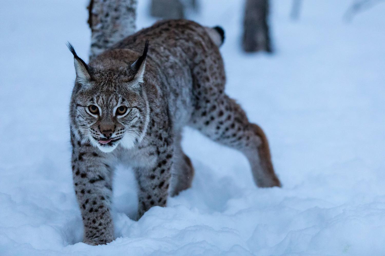Le lynx à Polar Park