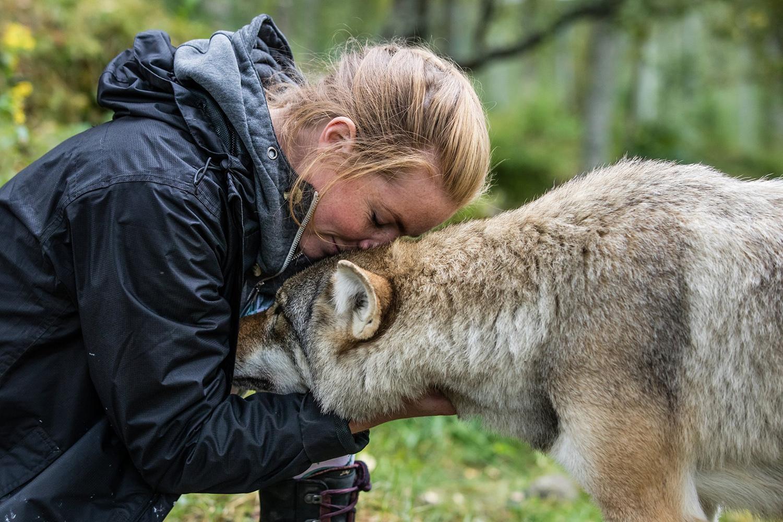 Polar Park : rencontre avec les loups
