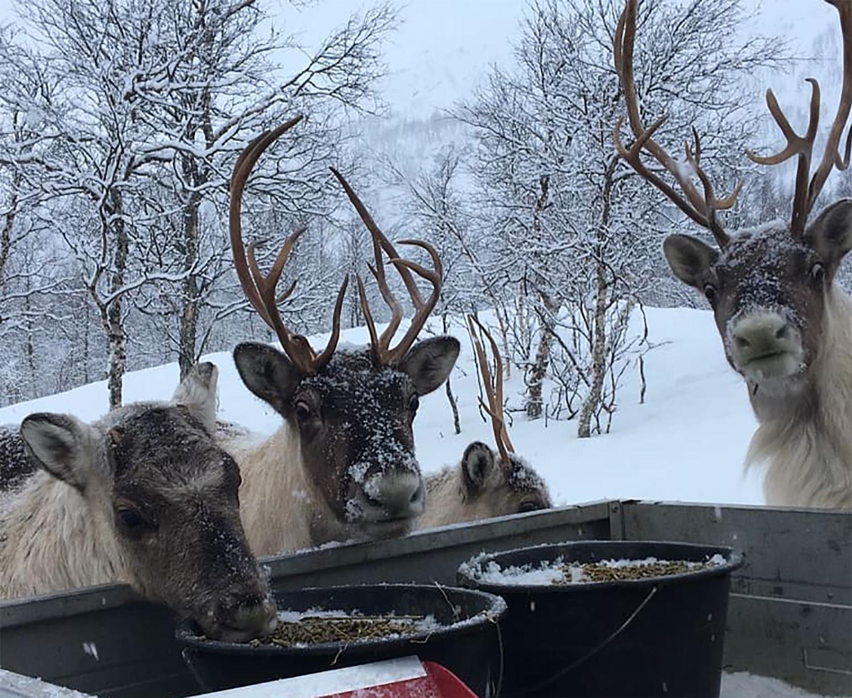 Les rennes au Polar Park
