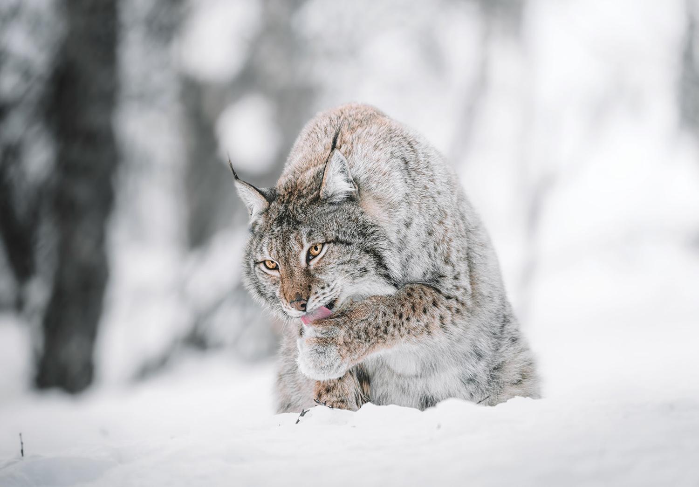 Le lynx au Zoo Polaire en Norvège