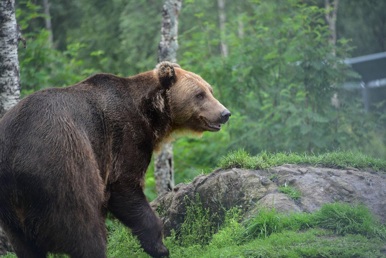 L'ours au Zoo Polaire près de Tromsø