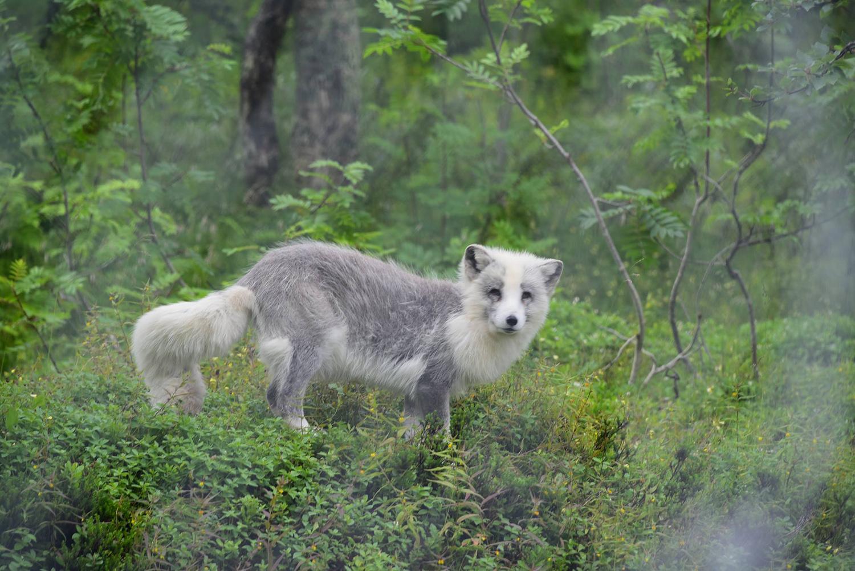 Le renard arctique du zoo polaire