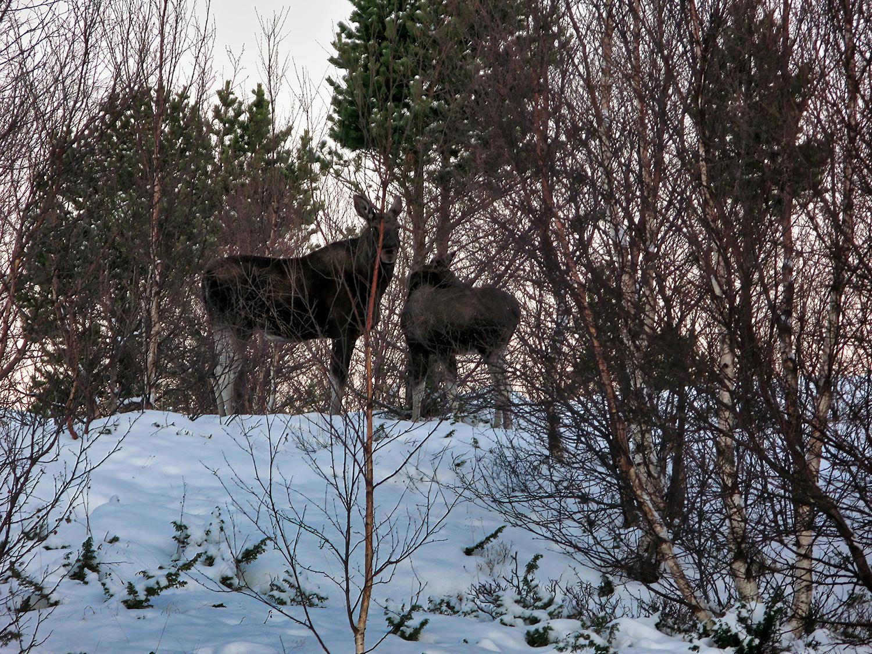 Rencontre avec des élans à Bodø