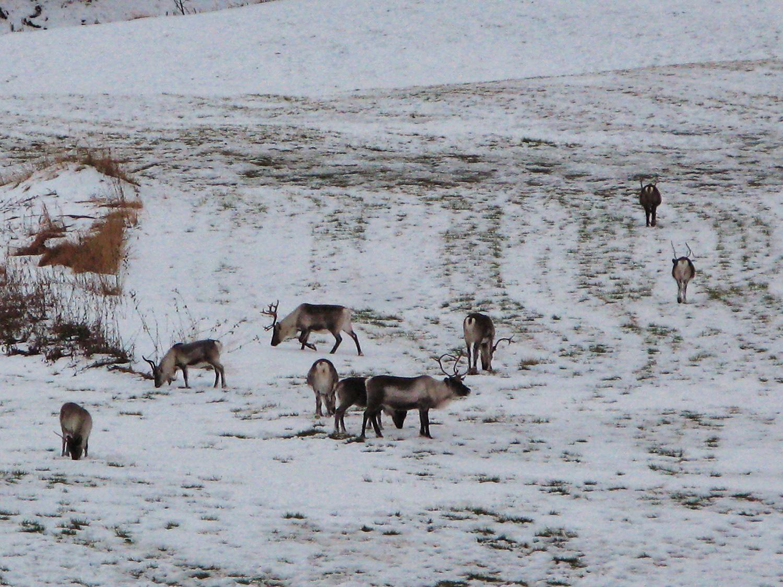 Rencontre avec un troupeau de rennes près de Finnsnes